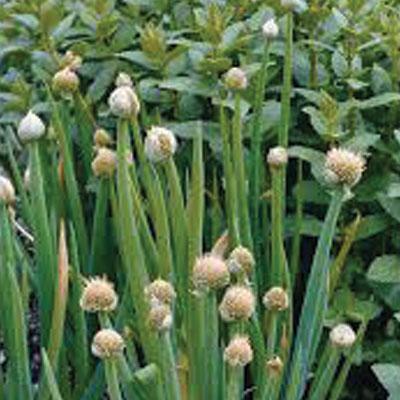 Allium-fistulosum