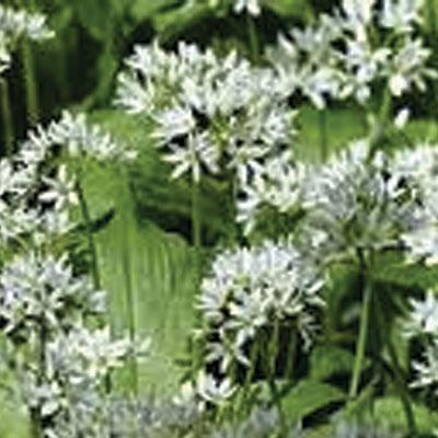 allium ursinum wild garlic or ransoms laurel farm. Black Bedroom Furniture Sets. Home Design Ideas