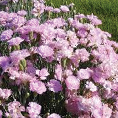 Dianthus-Clove-pink