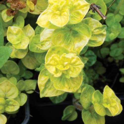Golden-Marjoram