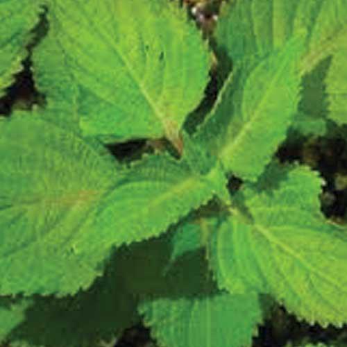 Green-Perilla