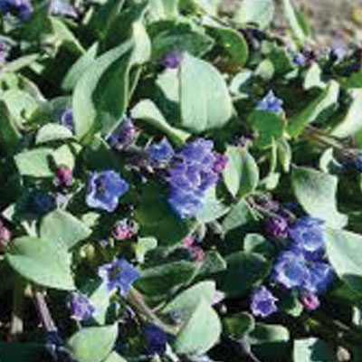 Oyster-Plant