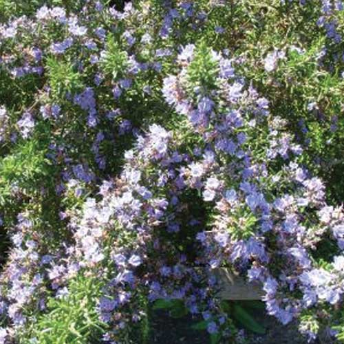 Primley-Blue