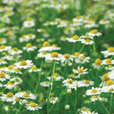 Roman-Chamomile-in-flower