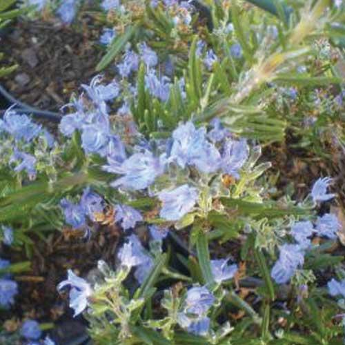 Seven-Seas-Rosemary
