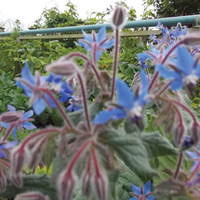 blue-borage
