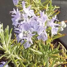 sudbury blue rosemary