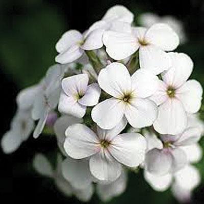 white-night-scent