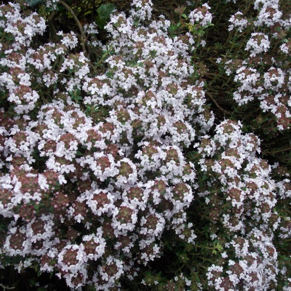 Orange Scented Thyme
