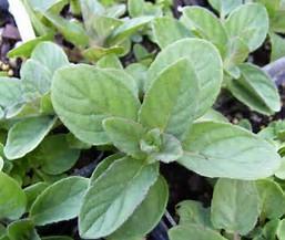 hillarys sweet lemon mint
