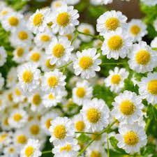 Double-cream-chamomile