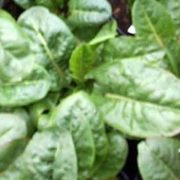 French-Sorrel-Abundance