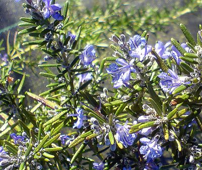 101-Officinalis-Fota-Blue