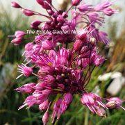 Allium Ladies Leek