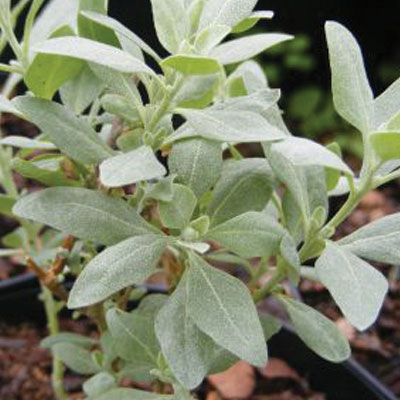 Atriplex-Halimus-(Sea-Orach)