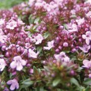 Caraway-Thyme