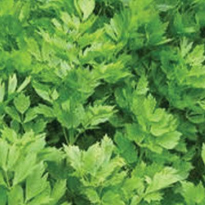 Celery-Leaf