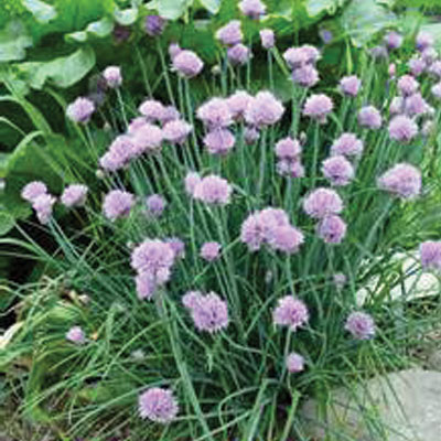 Evergreen-Chive