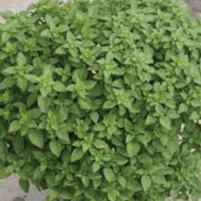Greek-Basil