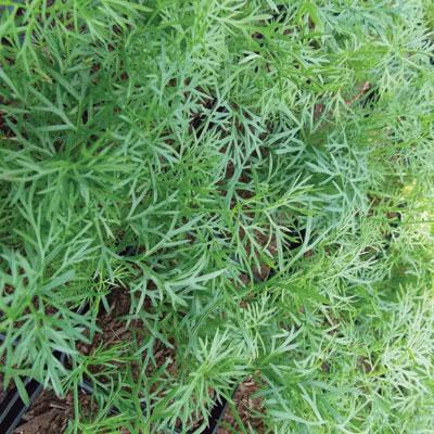 Green-Fennel