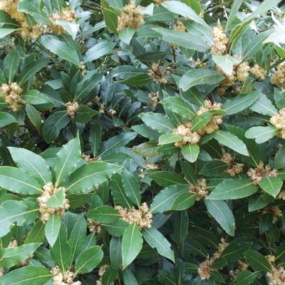Laurus-Noblis-(Bay-Tree)