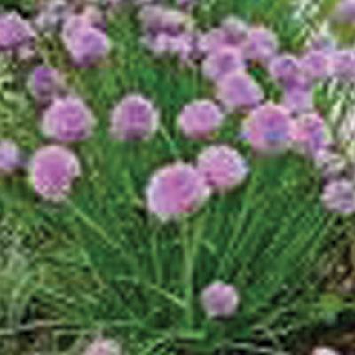 Purple-garlic-chives