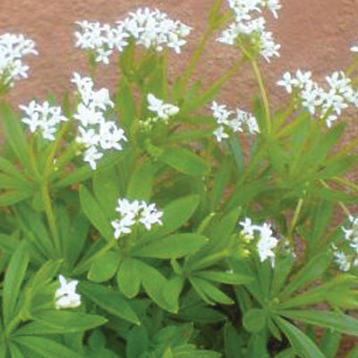 Sweet-woodruff