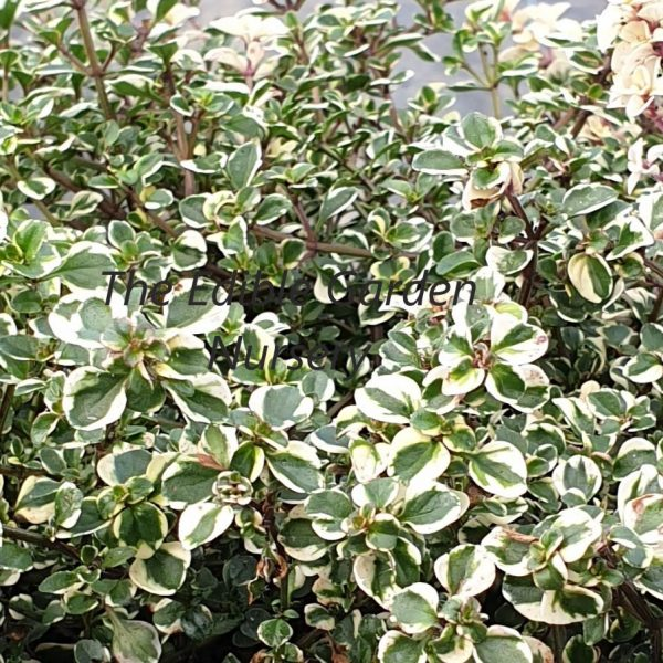 Thymus Foxley