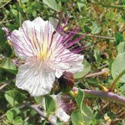 caper-bush