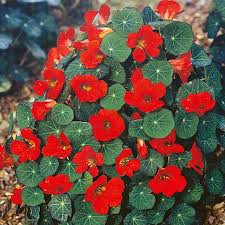 empress of india nasturtium