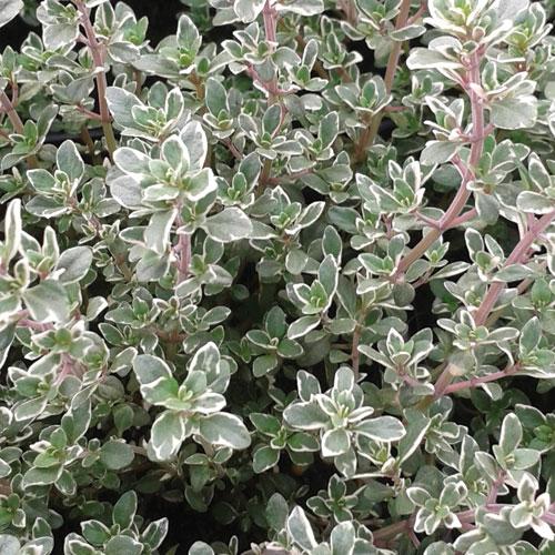 silver-posie-thyme