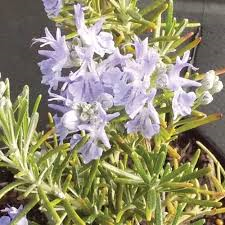 sudbury blue rosemary