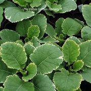 Varigated kale