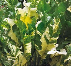 variegated horseradish