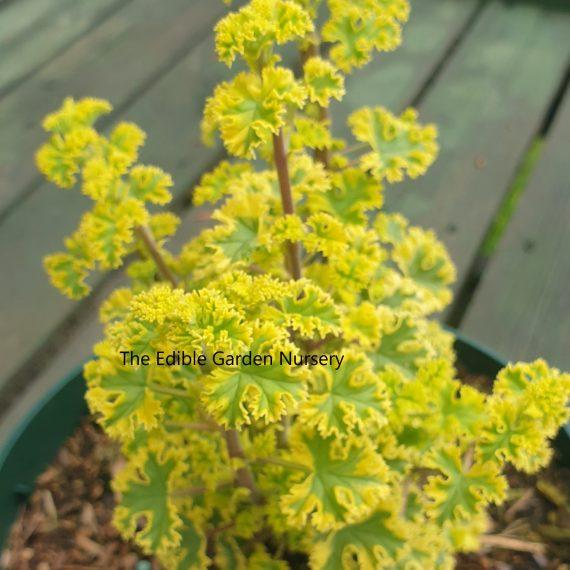 Cy's sunburst pelargonium