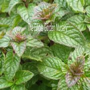 Mentha Berries and Cream with watermark