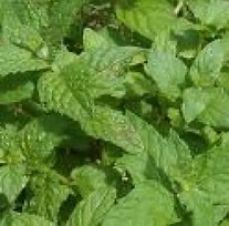 english lamb mint