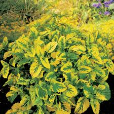 golden variegated lemon balm