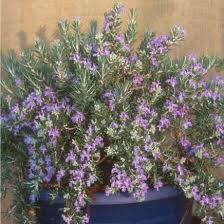 roman beauty rosemary