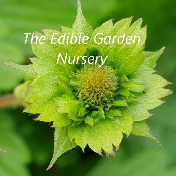 Fragaria Plymouth Strawberry flower