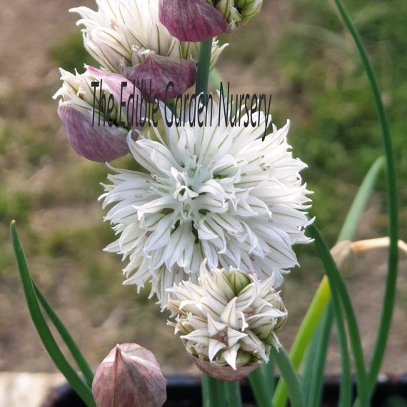 Allium Black Isle Blush
