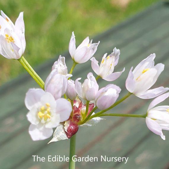 rosy garlic flowers