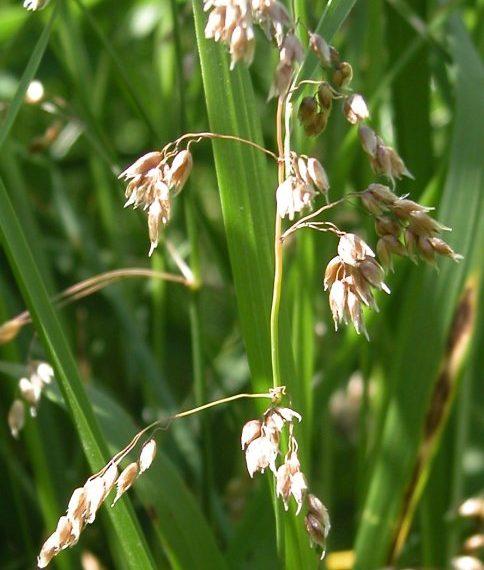 vanilla grass 2