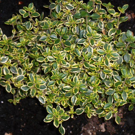 variegated lemon thyme
