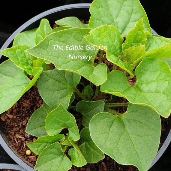 Habiliztia (Caucasian Spinach)