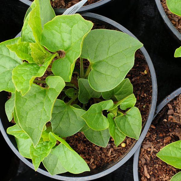caucasian spinach