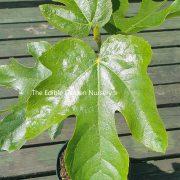 rouge de bordeaux fig