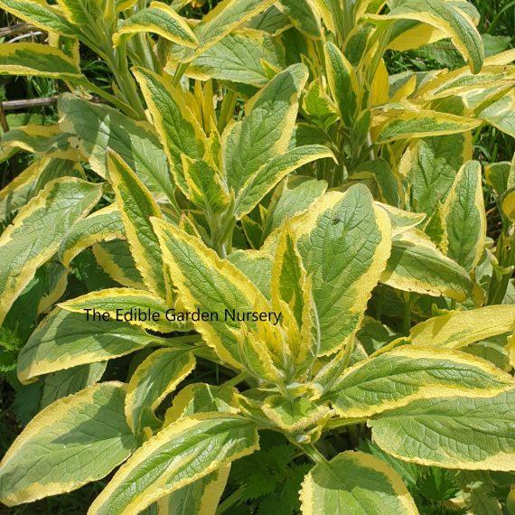 golden variegated comfrey