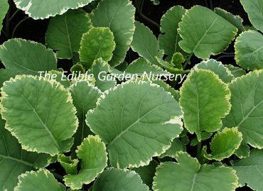 Perennial Kales